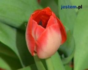 Tulipany - najpopularniejsze wiosenne kwiaty cebulowe! [WIDEO]