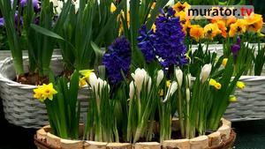 Wiosenne kwiaty  cebulowe – hiacynty, krokusy, narcyzy