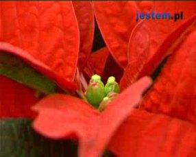 Gwiazda betlejemska: roślina na Boże Narodzenie