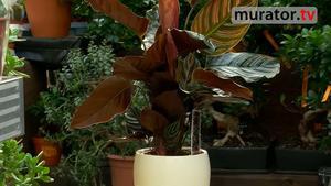 Kalatea - roślina doniczkowa o ozdobnych liściach. Jak pielęgnować kalateę? [WIDEO]