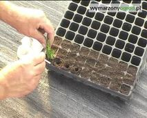 Uprawa iglaków