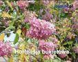 Przycinanie krzewów ozdobnych kwitnących późną wiosną lub latem