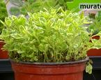 Zioła w ogrodzie: oregano. Uprawa oregano i zastsowanie