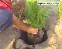 Jak sadzić iglaki