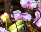 Jak podlewać storczyki: uprawa storczyków w mieszkaniu