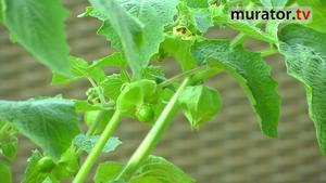 Uprawa warzyw na balkonie - miechunka peruwiańska