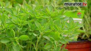 Zioła w ogrodzie: mięta. Jak uprawiać miętę w ogródku ziołowym? [WIDEO]