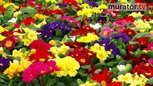 Prymule - popularne wiosenne kwiaty [WIDEO]