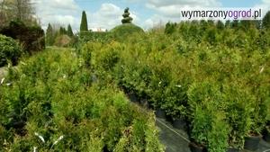 Tuje (żywotniki) - najpopularniejsze odmiany tui do ogrodu
