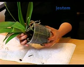 Rozdzielanie storczyków - sposób na rozmnażanie storczyków [WIDEO]