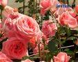 Sadzenie krzewów róż