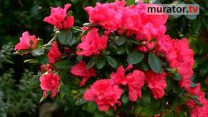 Kwiaty doniczkowe: azalie. Jak pielęgnować azalie w doniczkach [WIDEO]