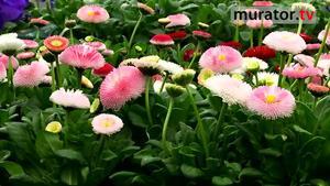 Wiosenne kwiaty  - stokrotki, niezapominajki