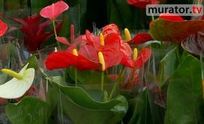 Kwiaty doniczkowe -  anturium