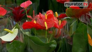 Kwiaty doniczkowe -  anturium. Jak pielęgnować anturium [WIDEO]