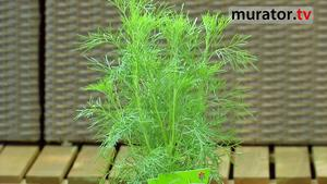 Zioła w ogrodzie i na balkonie: bylica o smaku coli
