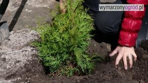 Tuje (żywotniki) - sadzenie. Jak prawidłowo sadzić tuje w ogrodzie