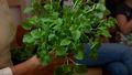 Jak uprawiać zioła w doniczce w domu