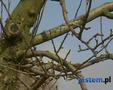 Zimowo-wiosenne cięcie drzew owocowych. Poradnik: jak przycinać drzewa owocowe [WIDEO]