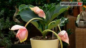 Kwiaty doniczkowe - medinilla wspaniała. Jak pielęgnować medinillę [WIDEO]