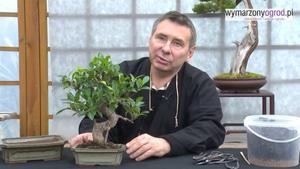 Jak przesadzać drzewko bonsai