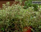 Zioła w ogrodzie: tymianek. Uprawa tymianku i zastosowanie