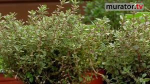 Zioła w ogrodzie - tymianek. Jak uprawiać tymianek w ogrodzie