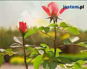 Róże w ogrodzie: rodzaje krzewów róż