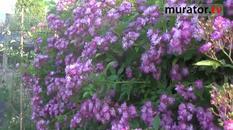 Róża pnąca - Veilchenblau