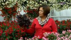 Poznaj różne odmiany begonii
