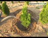 Iglaki w ogrodzie. Jak uprawiać drzewa iglaste?