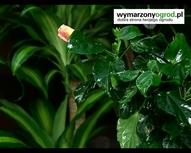 Pielęgnacja roślin. Nabłyszczanie liści kwiatów doniczk