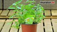 Zioła w ogrodzie - werbena cytrynowa