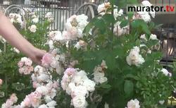 Odmiany róż - Ghislaine de Feligonde