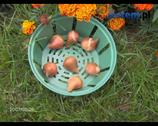 Prace ogrodowe: sadzenie roślin cebulowych w ogrodzie