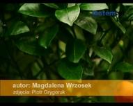 Doniczkowe rośliny egzotyczne: kumkwat, echmea, guzmania