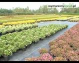Rośliny do domu i ogrodu. Wrzośce i wrzosy.