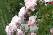 Uprawa róż - ogród różany pani Moniki z Kielc