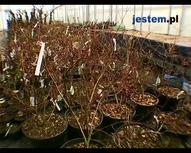 Pielęgnacja ogrodu - bielenie drzew owocowych