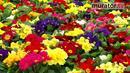 Wiosenne kwiaty – prymule