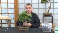 Jak samemu zrobić drzewko bonsai? Formowanie pnia.