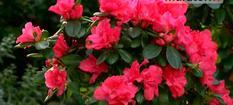 Kwiaty doniczkowe - Azalie