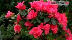 Kwiaty doniczkowe: azalie