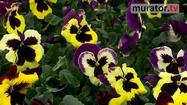 Wiosenne kwiaty bratki: jak sadzić i pielęgnować