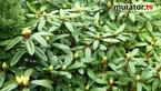 Jak zabezpieczyć rododendrony na zimę: ogród zimą