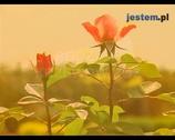 Krzewy róż. Jak dobrać rodzaje róż odpowiednie do naszego ogrodu