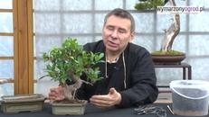 Przesadzanie drzewka bonsai. Najważniejsze zasady