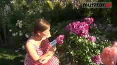 Róża parkowa - Rhapsody in blue