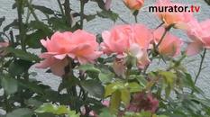 Odmiany róż - Emelie i Rosarium