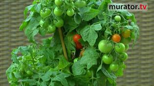 Warzywa na balkon - pomidory